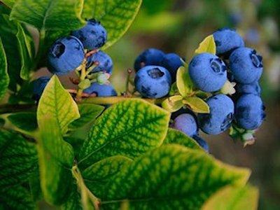blueberry 400x300