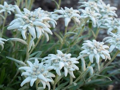 edelweiss 400x300