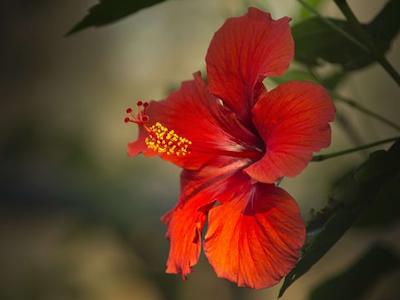 hibiscus400x300