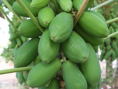 papaya-seed 400x300